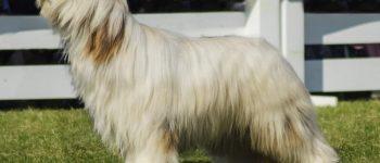 Beautiful White Briard dog