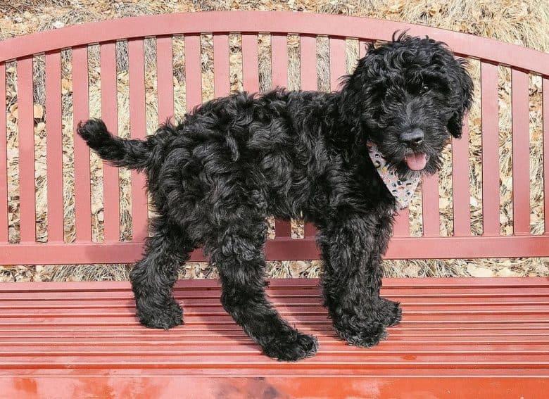 Briard Poodle mix dog