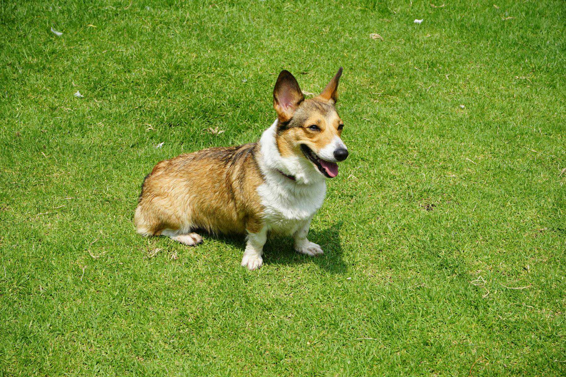 Cardigan Welsh Corgi Dog Breed Information - K9 Web
