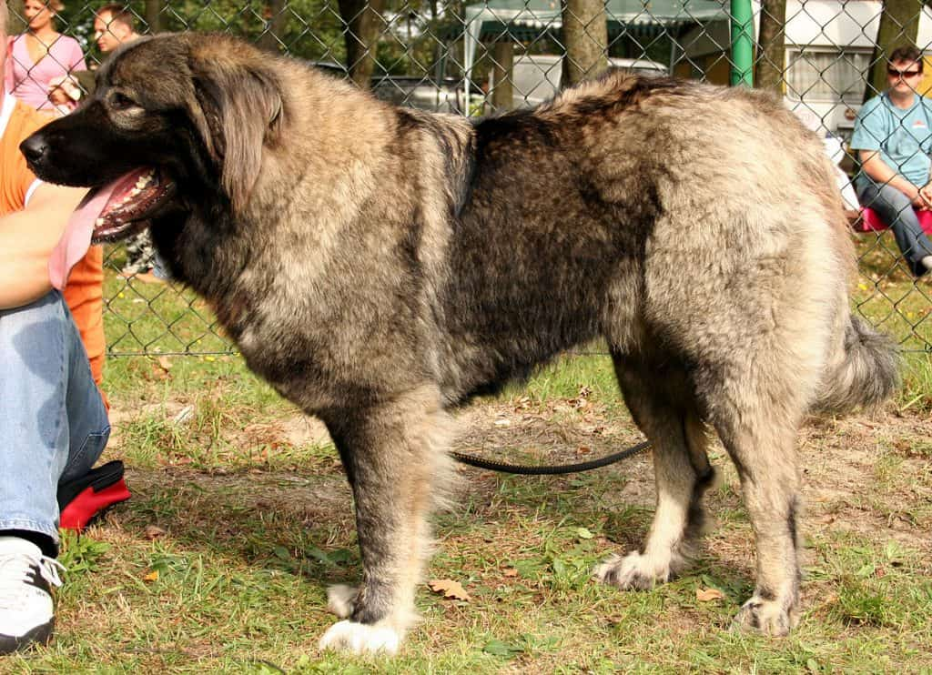 Caucasian Mountain Dog Facts and Information - K9 Web