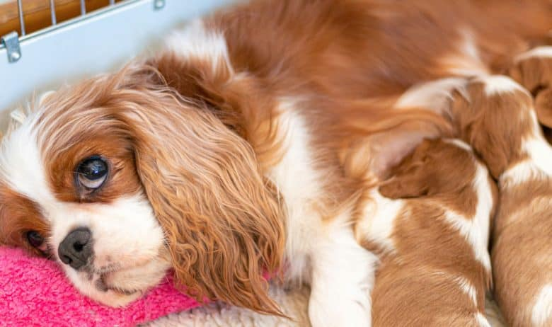 Cavalier King Charles Spaniel dog nursing her pups