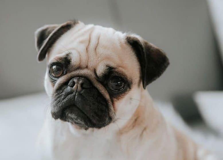 Charming Pug dog