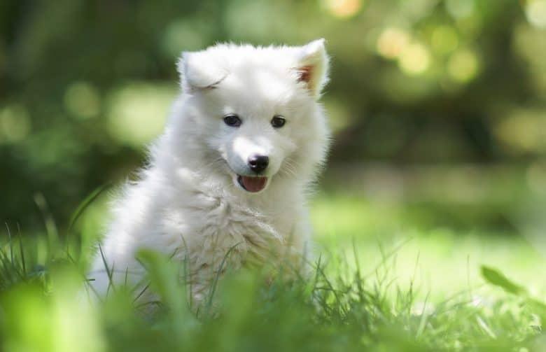 Cheerful Samoyed puppy in the garden
