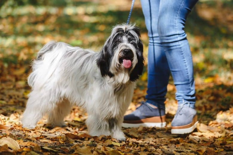 Cheerful Tibetan Terrier dog walking with its owner in a park