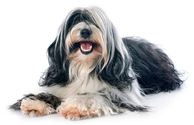 Cheerful Tibetan Terrier with its luscious coat