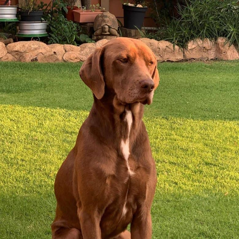 Chocolate Weimaraner Labrador mix dog