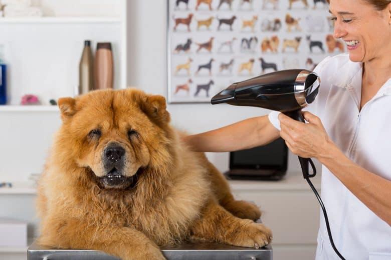 Chow Chow dog grooming