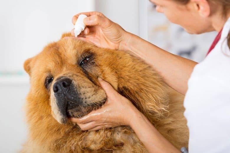 Chow Chow in an eye treatment