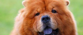 Chow Chow dog portrait