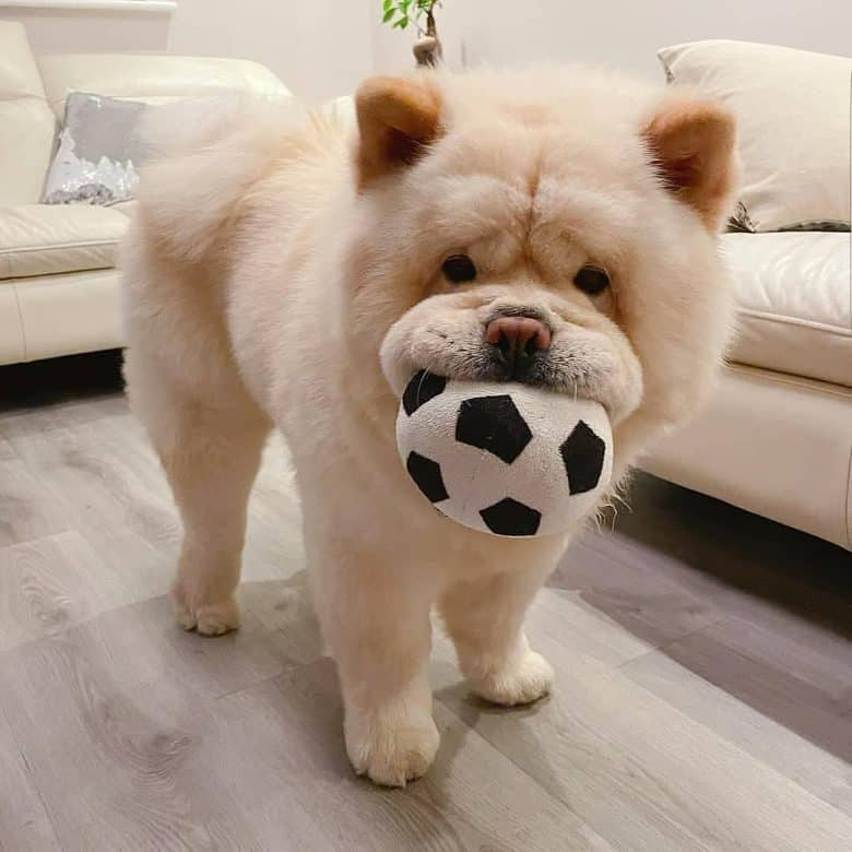 Chow Chow dog playing a soccer ball toy
