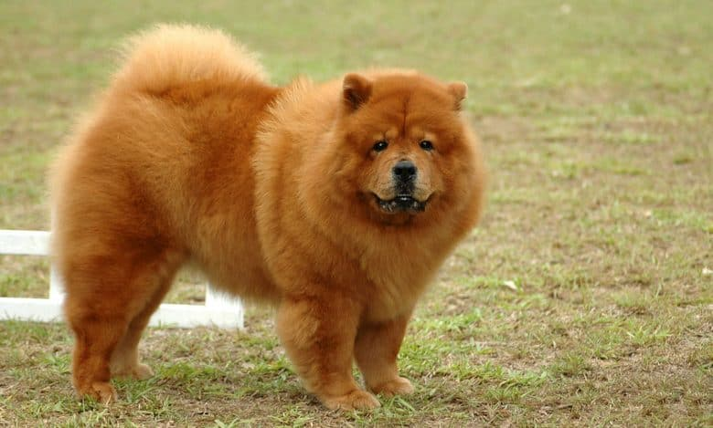 Chow Chow roaming at the park