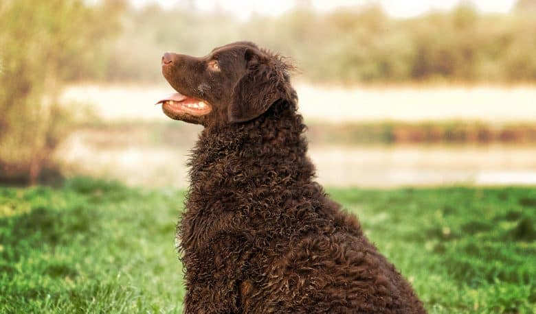 Close-up of Curly Coated Retriever sitting on a lawn