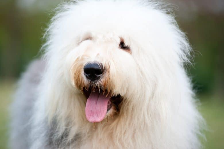 Cheerful Old English Sheepdog