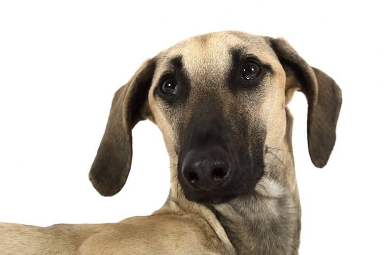 Close-up Sloughi dog face