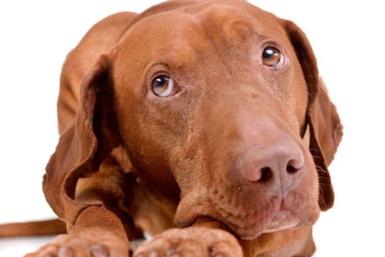 Curious Vizsla dog close-up portrait
