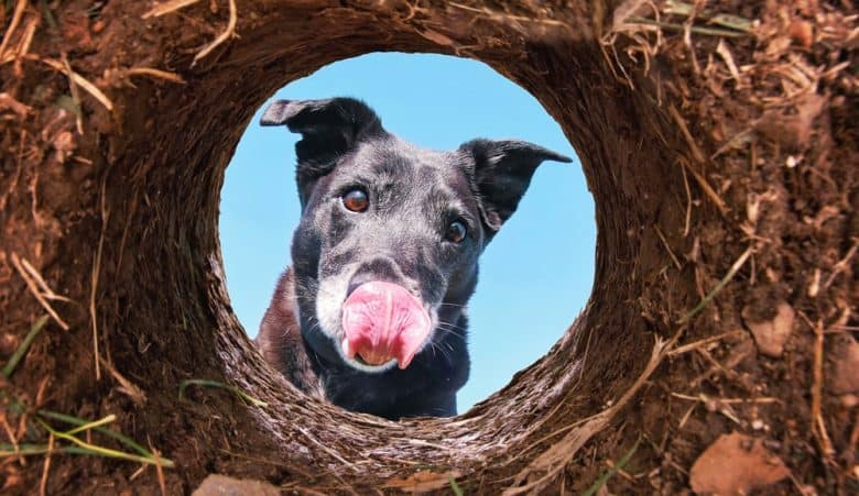 A cute Black Labrador looking into a hole