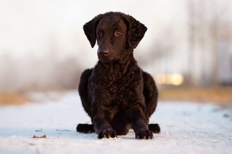 Cute Curly Coated Retriever posing on snowy outdoor