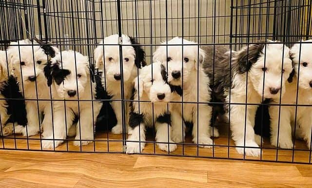 Cute little Old English Sheepdog puppies