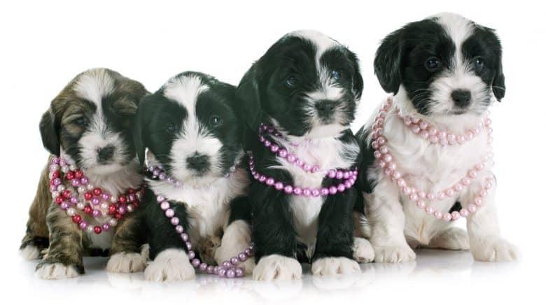 Cute little Tibetan Terrier dog puppies wearing necklaces