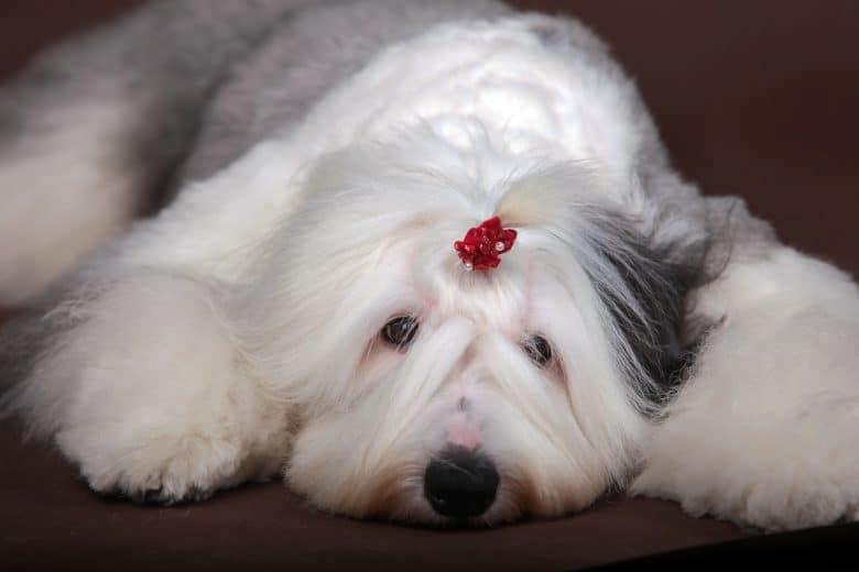 Cute Old English Sheepdog lying on the floor