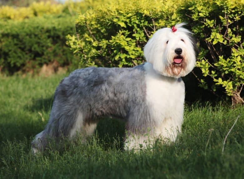 Cute Old English Sheepdog posing outdoor