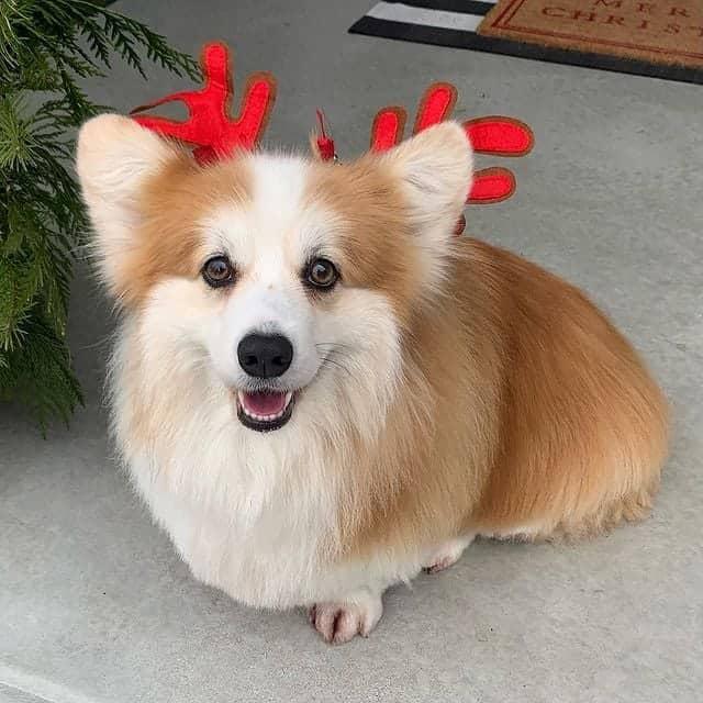 Cute Pembroke Welsh Corgi wearing reindeer hat