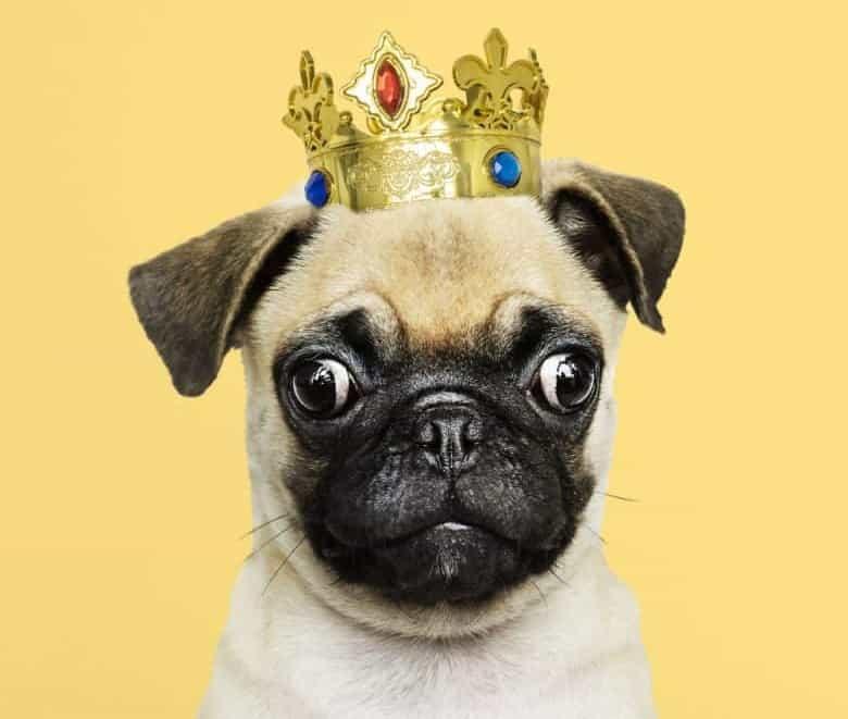 Cute Pug dog wearing a crown