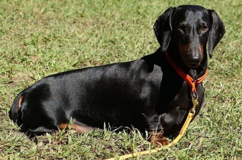 Dachshund dog lying on the grass