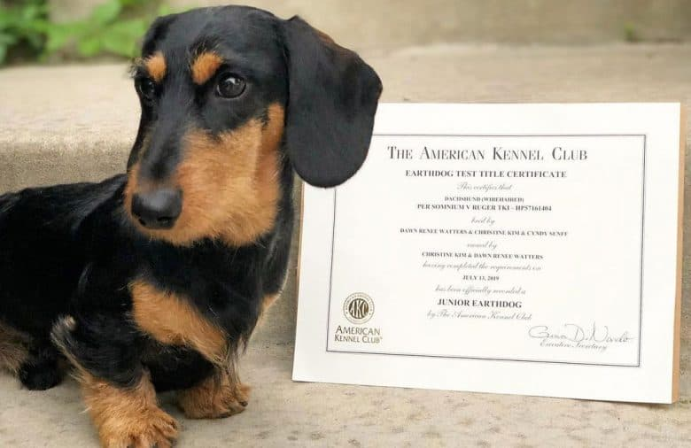 Dachshund dog receiving his AKC Earthdog test certificate