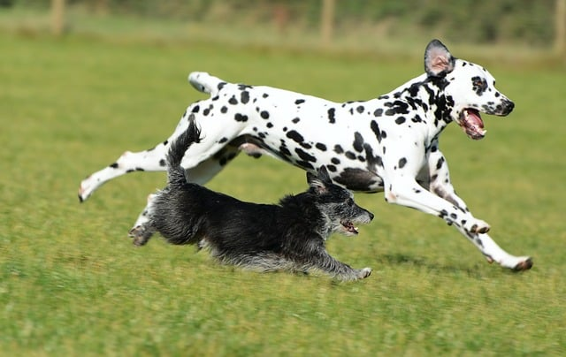 Dalmatian Dogs Running with Terrier