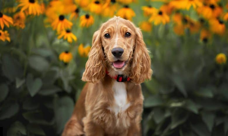 English Cocker Spaniel dog posing in the flower background