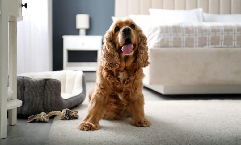English Cocker Spaniel dog sitting on the carpet