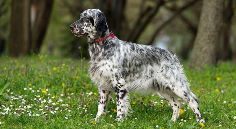 English Setter dog standing on the meadow