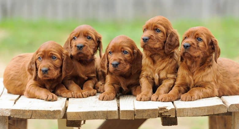 Five Irish Setter puppies at the top of the table