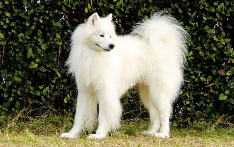 Fluffy Samoyed dog in the garden