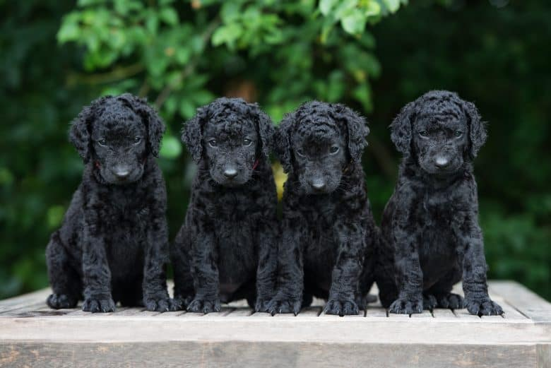 Four adorable Curly Coated Retriever puppies posing outdoor