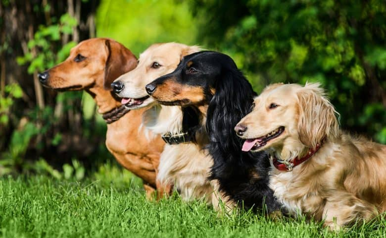Four Dachshund dogs sitting on the grass
