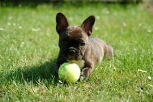 french bulldog puppy holding a ball