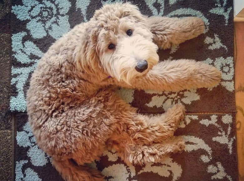 Fuzzy Pooghan dog lying down on a rug