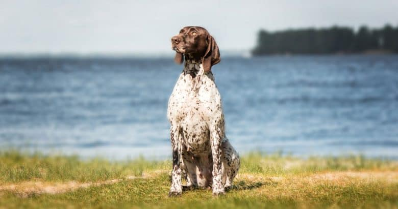 German Shorthaired Pointer dog sitting near the sea