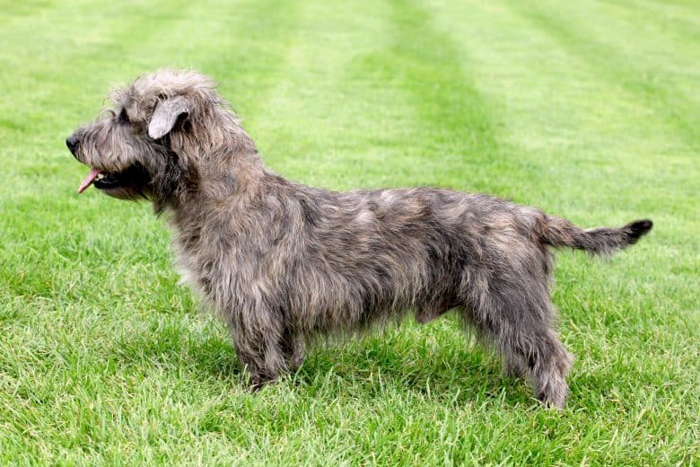 Glen of Imaal Terrier posing on green lawn