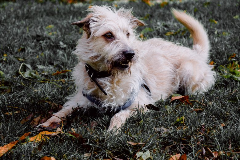 Cute Glen of Imaal Terrier relaxing on the grass