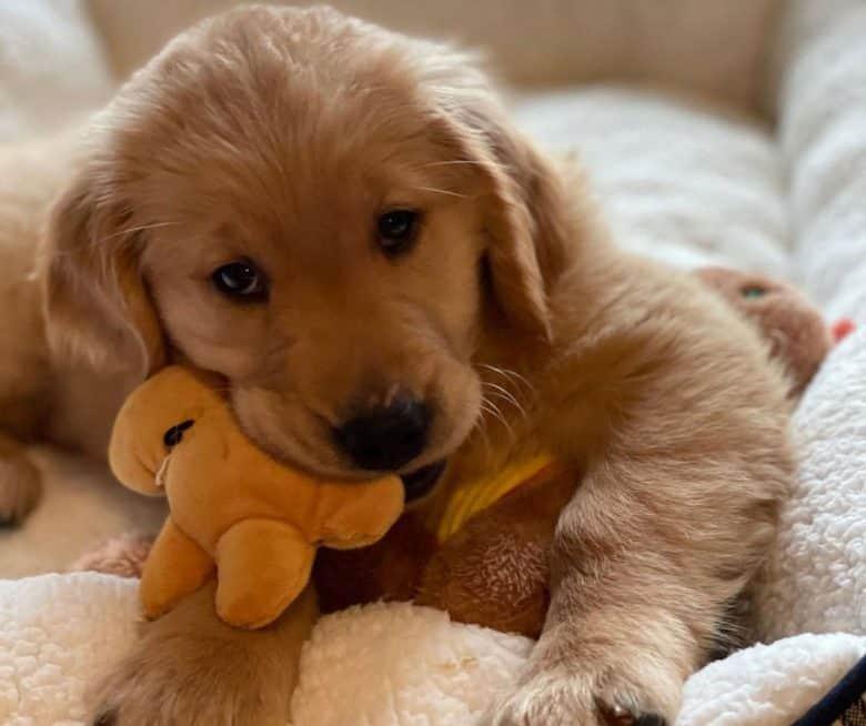 Golden Retriever Chihuahua mix puppy having a kidney disease