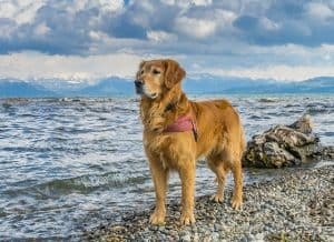 Golden Retriever at the beach