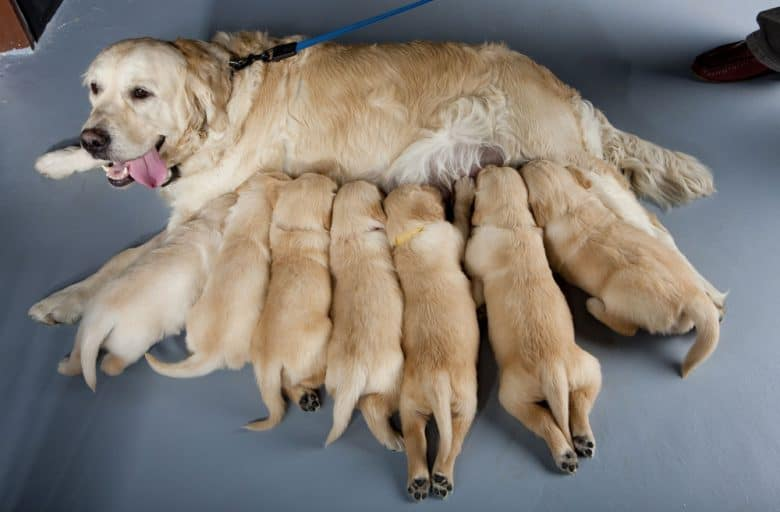 A Golden Retriever dog with her puppies