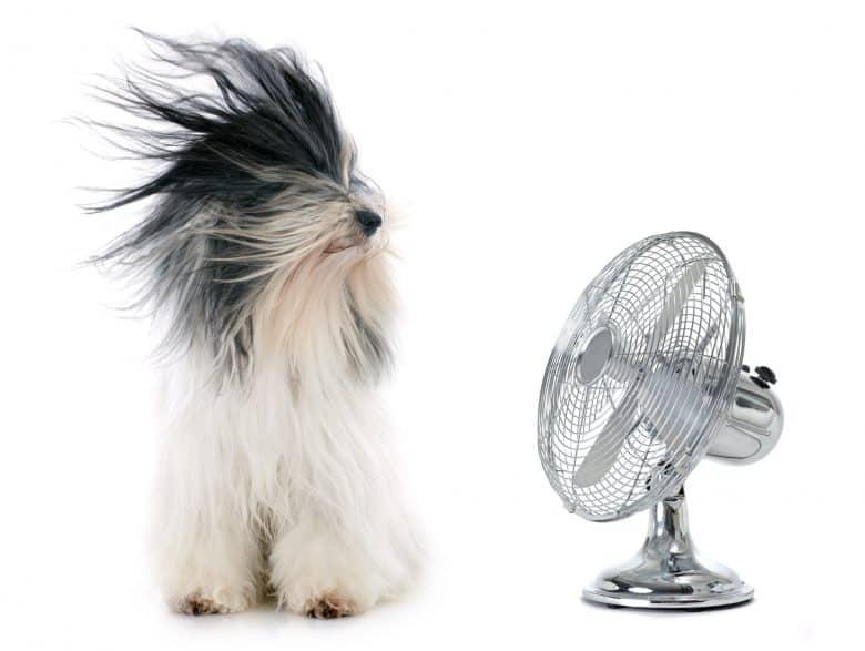 Goofy Tibetan Terrier dog in front of fan