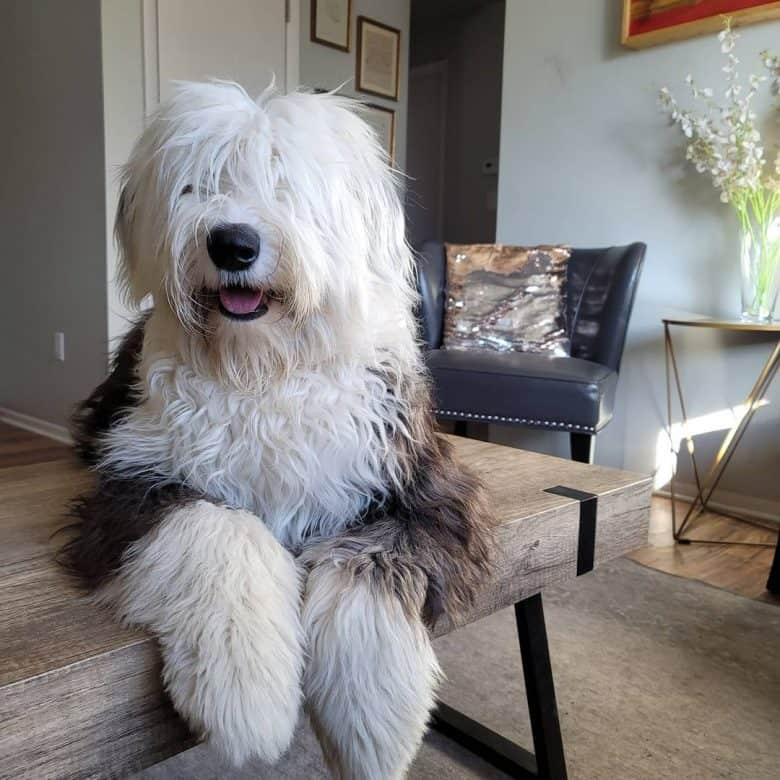 Gorgeous Old English Sheepdog posing on indoor bench