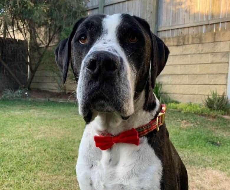 a Great Dane Bullmastiff mix sitting and wearing a red plaid collar