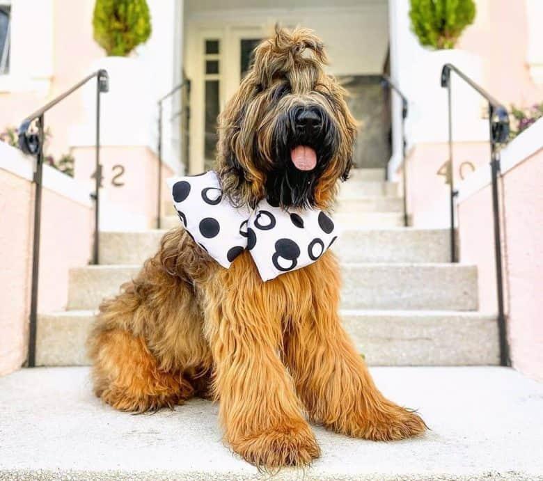 Happy Briard dog