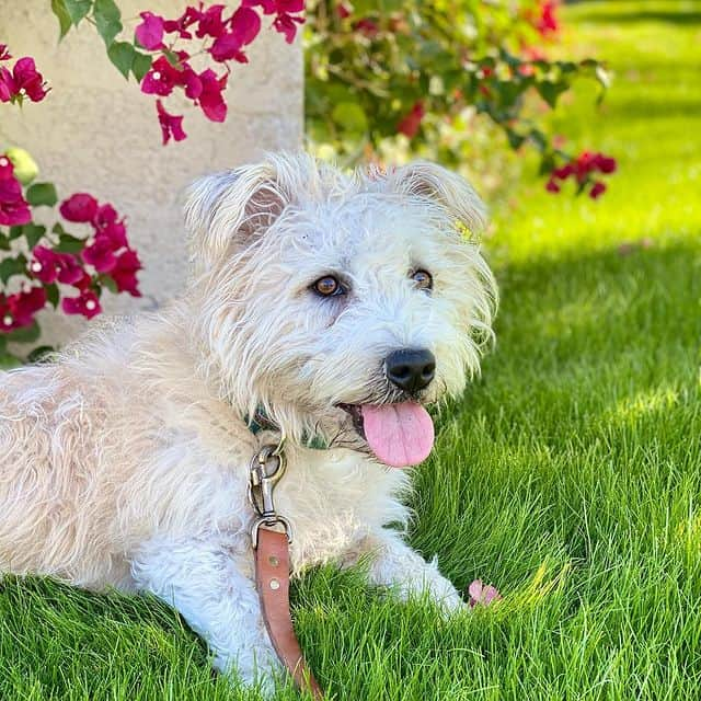 Happy Glen of Imaal Terrier on green grass